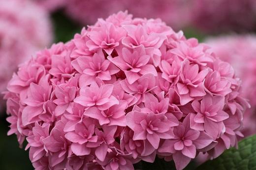 Очаровательная гортензия древовидная розовая