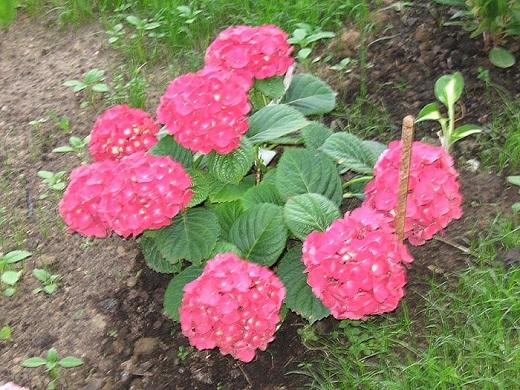 Гортензия крупнолистная розовая - яркие цветы, для эффектного украшения клумбы