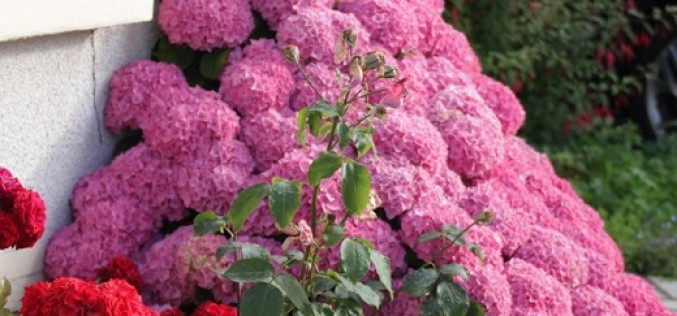 Рекомендации по уходу за гортензией садовой