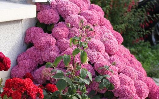 Гортензия садовая в украшении дачного участка