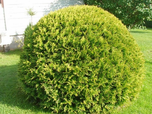 Оригинальный житель сада - туя шаровидная