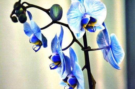 Синяя орхидея фаленопсис