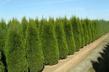 Особенности выращивания туи западной Смарагд