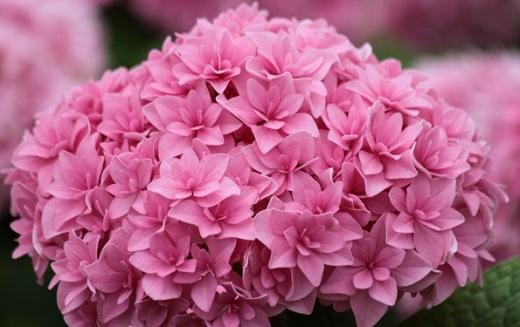 Гортензия свит фэнтези крупнолистная - нежный розовый оттенок привлечет взгляд каждого прохожего