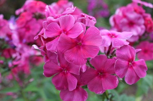 Необычно нежные цветки Флокса метельчатого Травиата