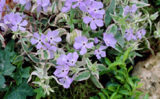 Phlox divaricata «Montrose Tricolor»