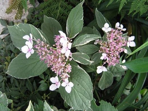 Гортензия крупнолистная вариегата - необычная жительница цветника