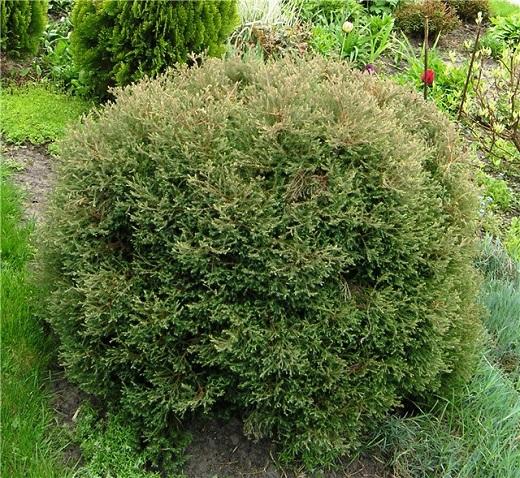 Туя вересковидная отлично разнообразит вид в саду