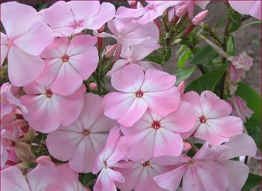 """Флокс метельчатый """"Цвет яблони"""" очаровывает своей нежностью"""