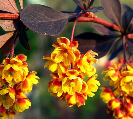 Так цветет один из сортов барбариса Тунберга