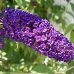Руководство как выращивать кустарник Будлея Давида