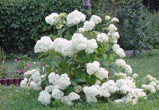 Белоснежные цветы калины Бульденеж украшают этот сад