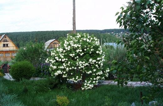 Декоративная бульденеж в саду - белоснежная красавица