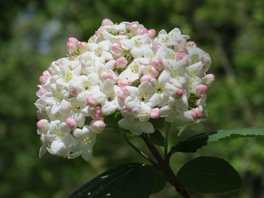 Нежная белизна калины Бульденеж с розовыми акцентами