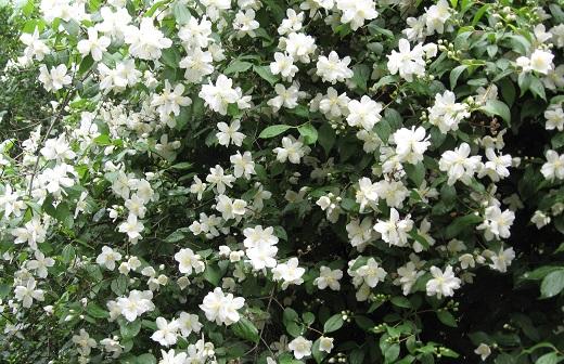 Так цветет чубушник жасмин