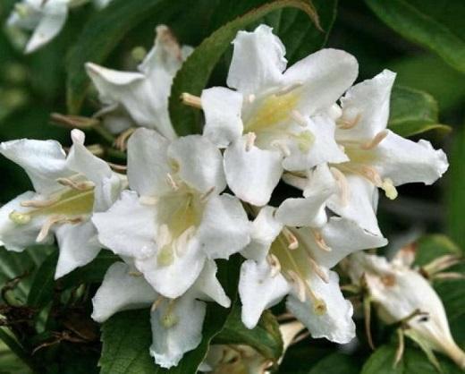 Цветение вейгелы украшает сад особенно ярко