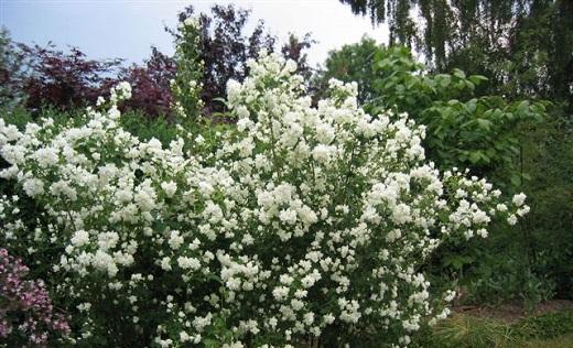 Так выглядит цветущий чубушник Дам Бланш