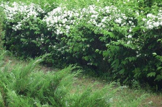 Живая изгородь из чубушника