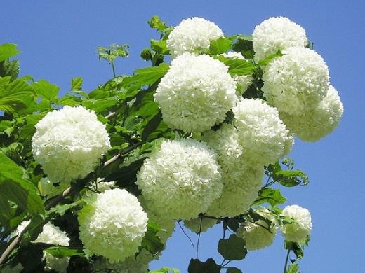 Пышное цветение бульденеж розеум