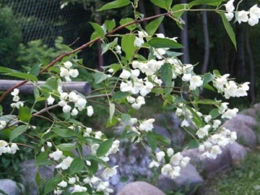 Цветущий чубушник Шренка