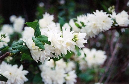 Ветка цветущего чубушника Миннесота Сноуфлейк