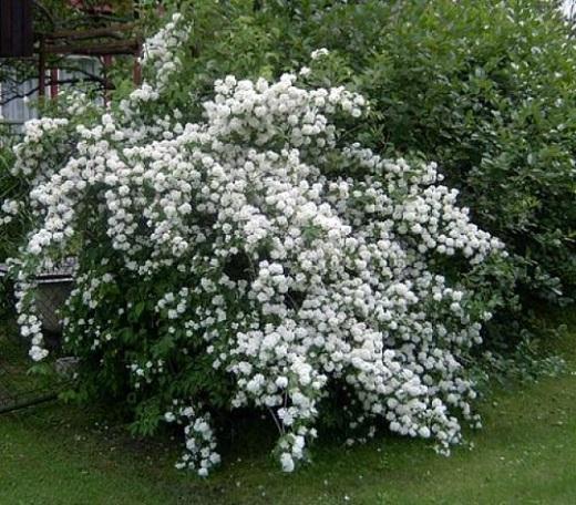 Белое облако в саду - чубушник венечный Вемуана