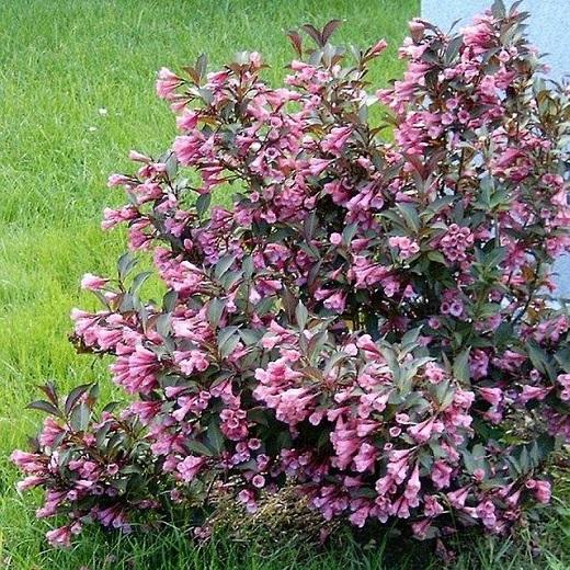 Вейгела - красивый кустарник для украшения любого сада