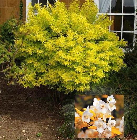Чубушник золотистый подарит вечное ощущение свежести в саду